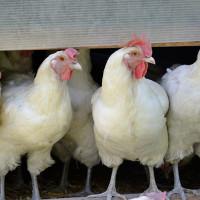 Hühner Rengoldshausen