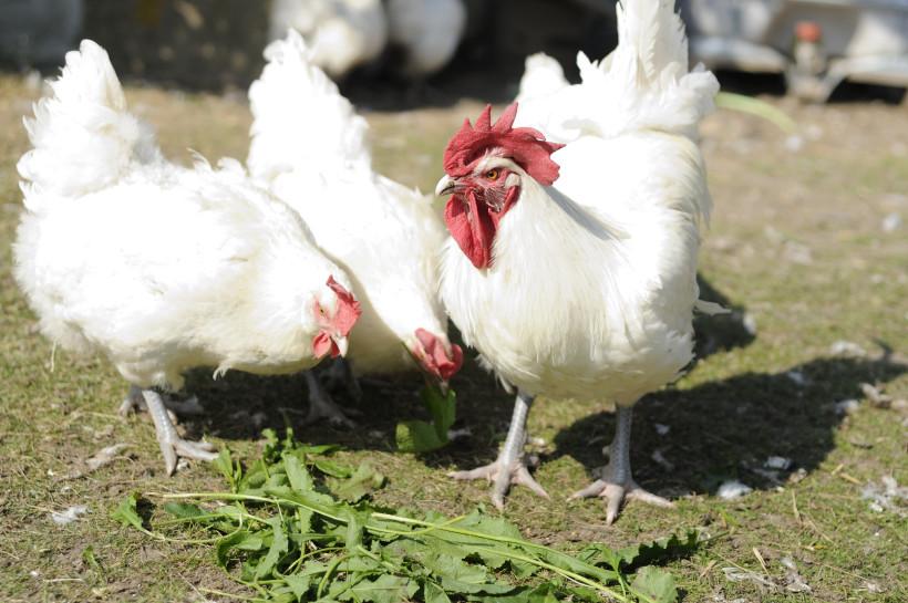 Fachexkursion Zweinutzungshuhn im ökologischen Landbau