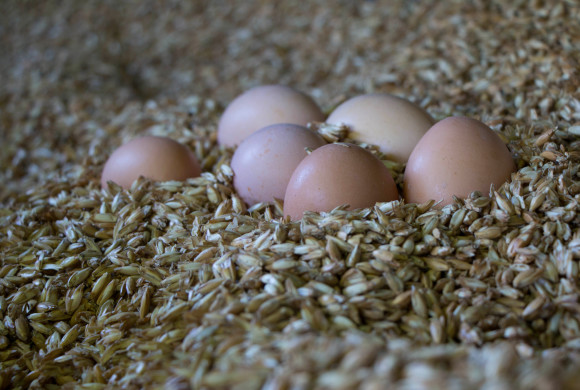 Augen auf beim Eierkauf: Die Alternative wählen, damit der Bruderhahn der Legehennen leben darf