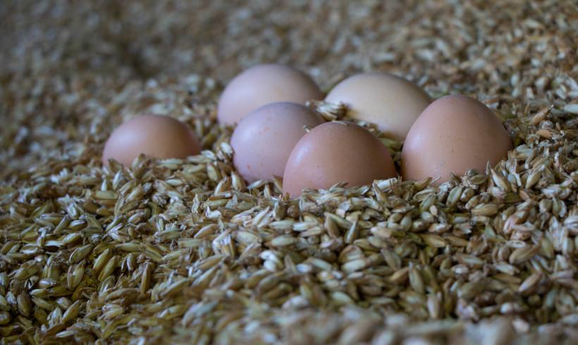 Eier von Legehennen der Ökologischen Tierzucht gGmbH