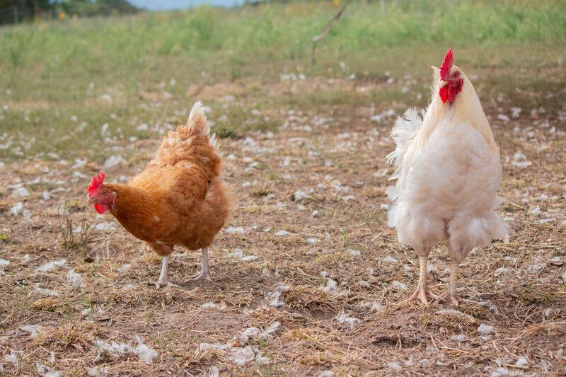 Eier genießen mit gutem Gewissen und (wirklich) ohne Kükentöten?