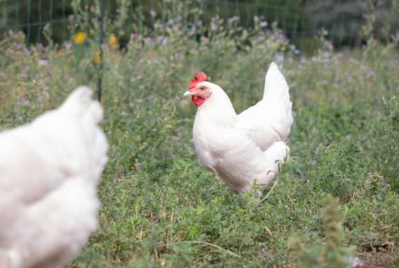 Potenzial von Zweinutzungshühnern im Ökolandbau